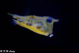 Longhorn cowfish DSC_5887