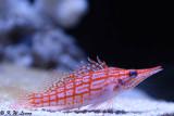 Longnose Hawfish DSC_5899