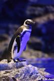 Penguin DSC_5961