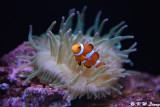 Clownfish DSC_5878