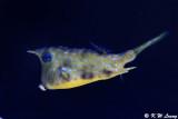 Longhorn cowfish DSC_5896