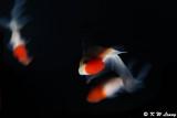 Goldfish DSC_6047