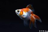 Goldfish DSC_5998