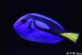 Palette surgeonfish DSC_5937