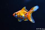 Goldfish DSC_6027