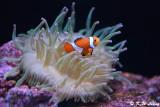 Clownfish DSC_5882