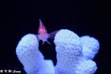 Longnose Hawfish DSC_5913