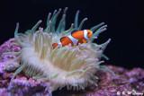 Clownfish DSC_5879