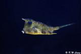 Longhorn cowfish DSC_5889