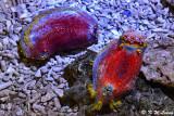 Sea apples DSC_7065