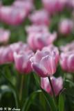 Tulip DSC_7099