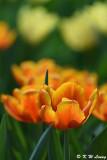 Tulip DSC_7165