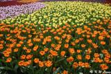 Tulips DSC_7168