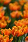 Tulip DSC_7166