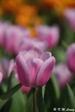Tulip DSC_7114