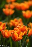 Tulip DSC_7124