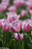 Tulip DSC_7101