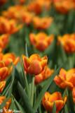 Tulip DSC_7105