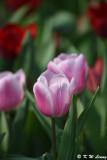 Tulip DSC_7100