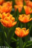 Tulip DSC_7125