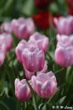 Tulip DSC_7102