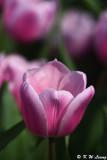 Tulip DSC_7123