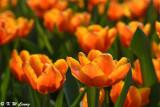 Tulip DSC_7143
