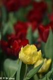 Tulip DSC_7098