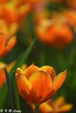 Tulip DSC_7135