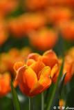 Tulip DSC_7158