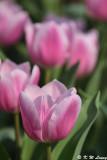 Tulip DSC_7107