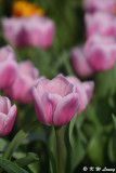 Tulip DSC_7106