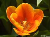 Tulip DSC_7175