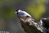 Java sparrow DSC_8037