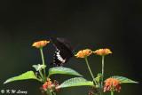 Papilio polytes DSC_8120