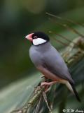 Java sparrow  DSC_8072