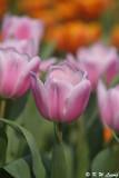 Tulip DSC_7111