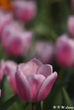 Tulip DSC_7119