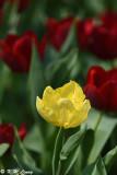 Tulip DSC_7180