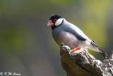 Java sparrow DSC_8052