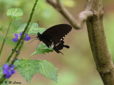 Papilio polytes DSC_7913