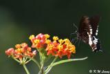 Papilio polytes DSC_8134