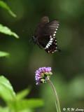 Papilio polytes DSC_8467