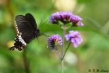 Papilio polytes DSC_8468