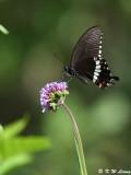 Papilio polytes DSC_8465