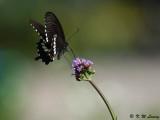 Papilio polytes DSC_8476