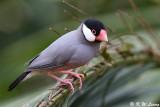 Java sparrow DSC_8078