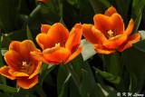 Tulip DSC_7152