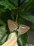 Lampides boeticus DSC_8653