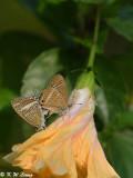 Lampides boeticus DSC_8606